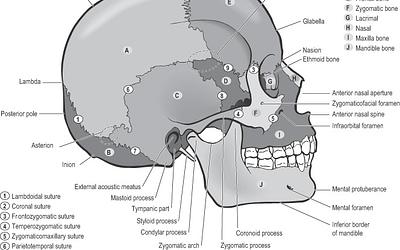 Research shows cranial osteopathic treatment influences cerebral circulation & enhances parasympathetic modulation.